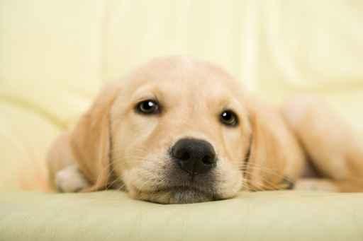 Carte de voeux chien - Golden retriever gratuit ...