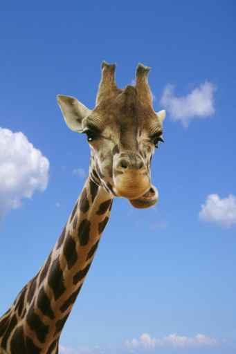 Carte anniversaire dr le girafe - Girafe rigolote ...