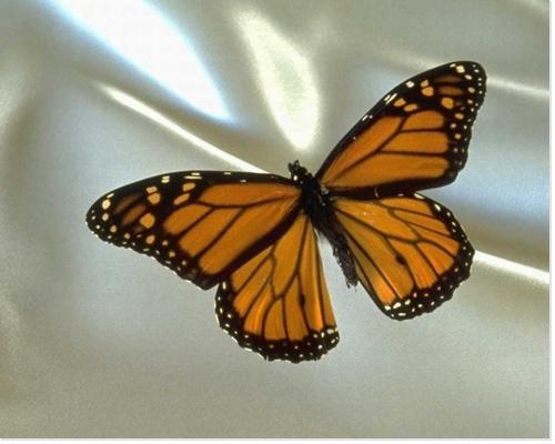 offret repas papillon